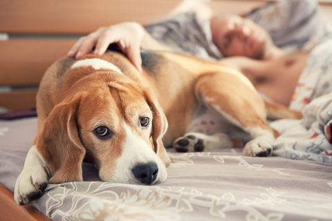 Beagle im Bett
