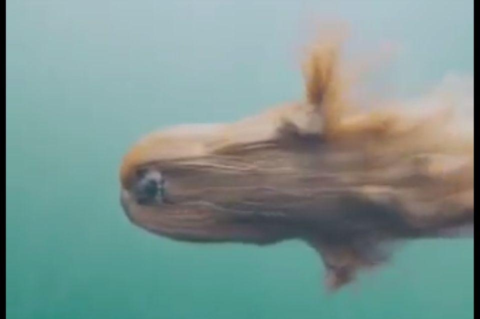 Windhund unter Wasser