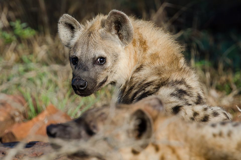Hyäne in Afrika