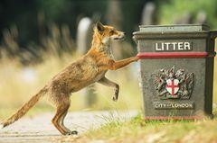 Fuchs an Mülltonne