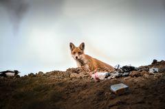 Fuchs auf Müllkippe