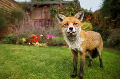 Fuchs im Garten