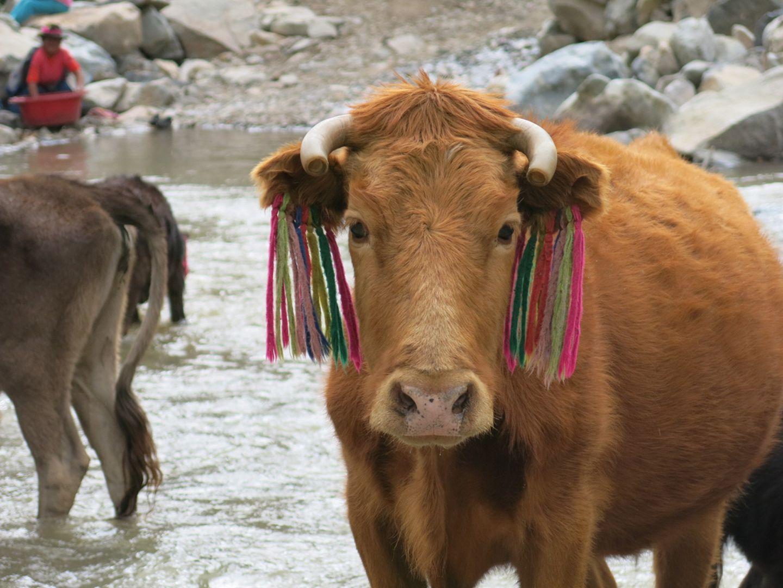 Kuh mit farbenfrohen Markierungen in Peru