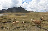 Alpacas in der Wüste