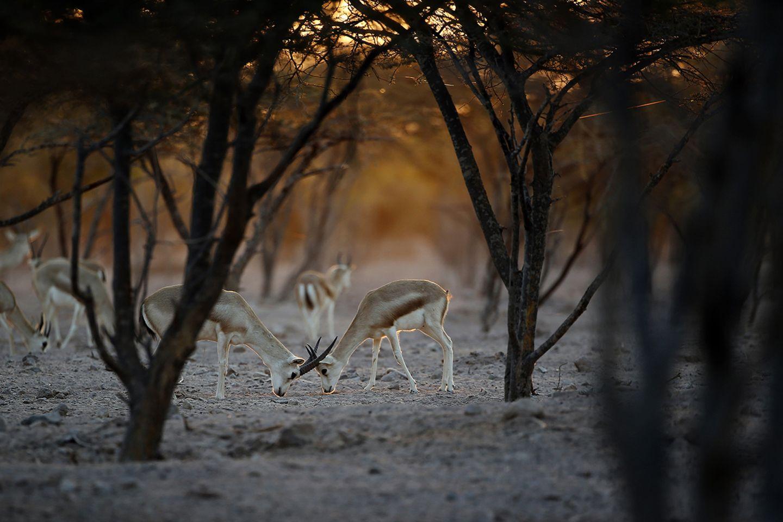 Gazelle, Sir Bani Yas Island
