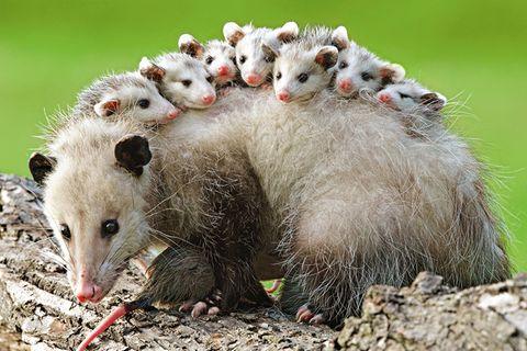 Opossums