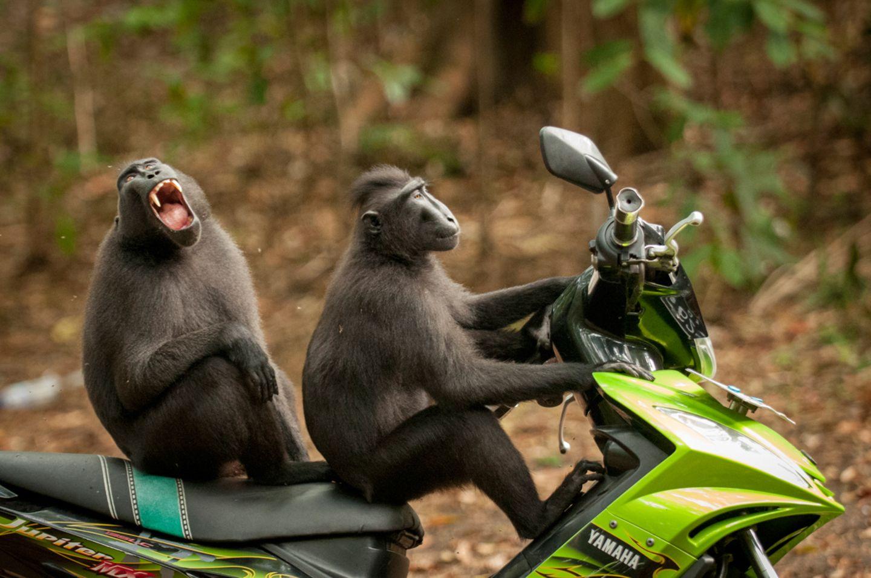 Affen auf einem Roller