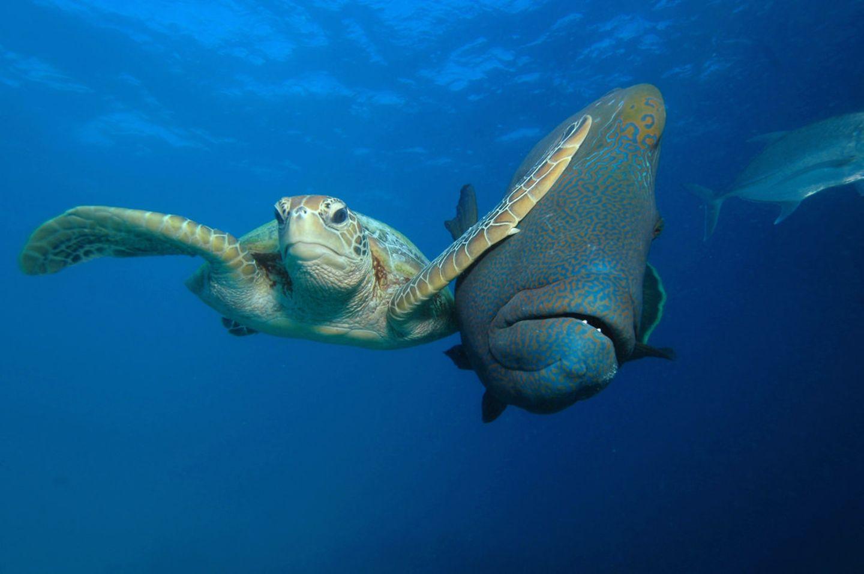 Unterwasser-Schildkröte