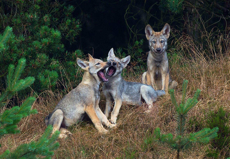 Junge Wölfe