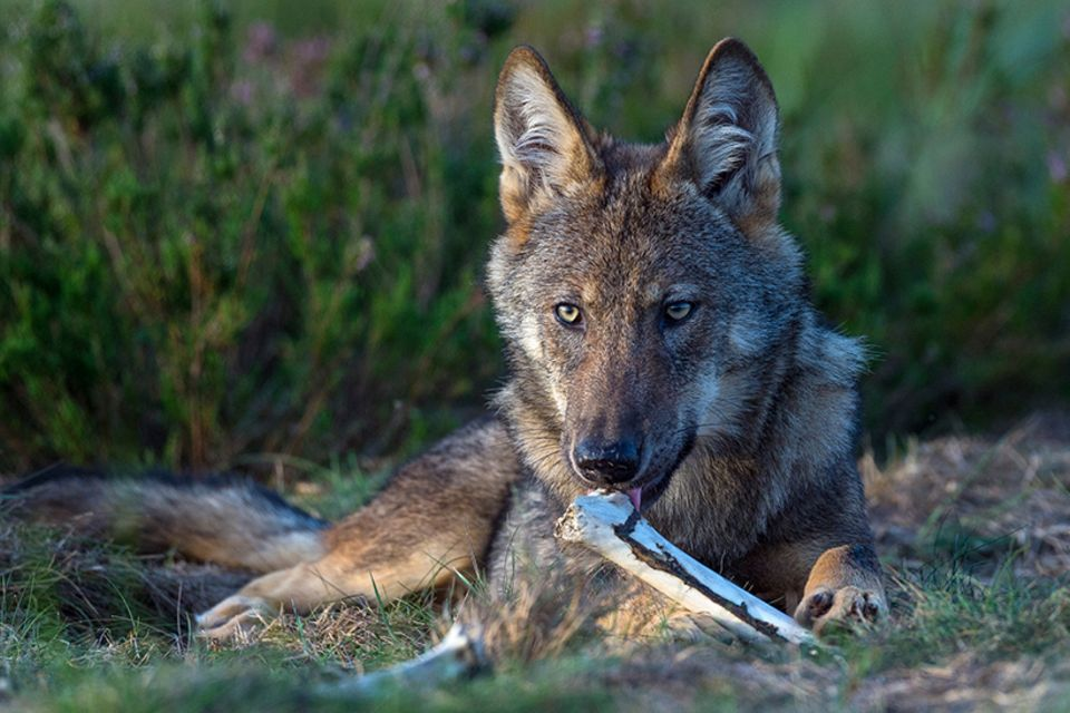 Wilder Wolf in Deutschland