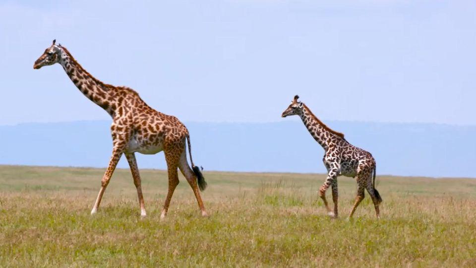 Zwei Giraffen in der Masai Mara