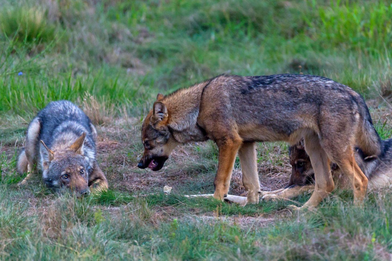 Wilde Wölfe in Deutschland