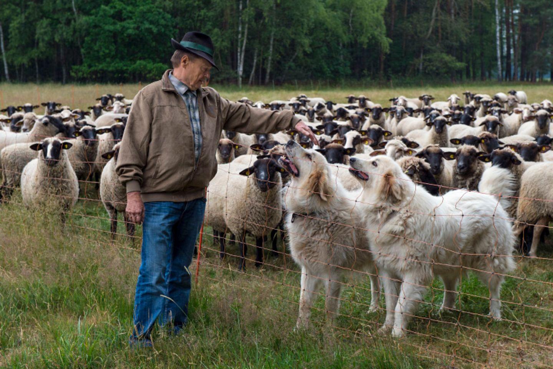 Schäfer mit Herdenhunden und Schafen