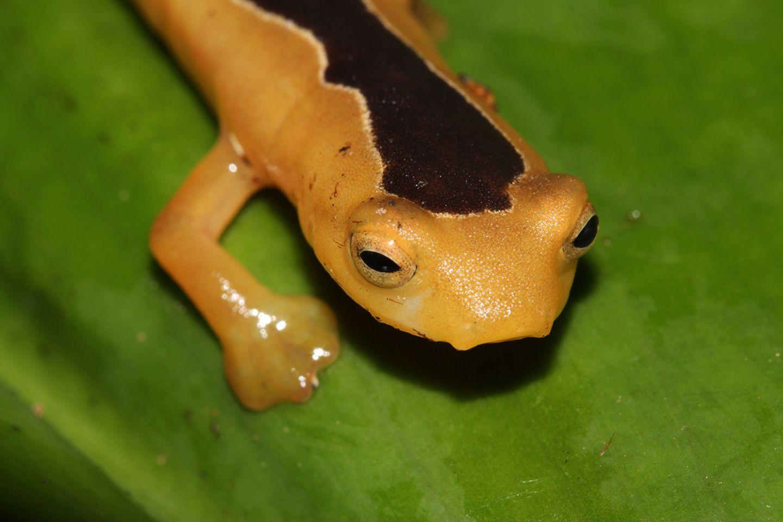 Jackson¹s climbing Salamander