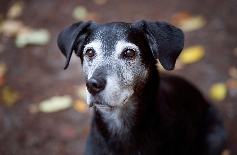 Senior-Hund
