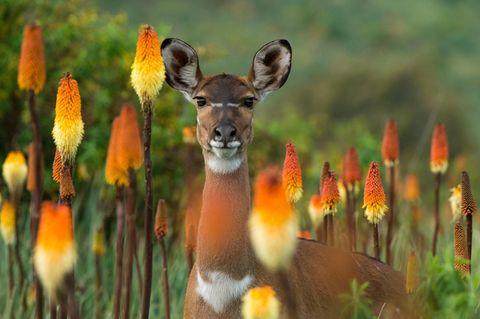 Äthiopien: Der Bergnyala, eine Antilopenart, kommt nur in einem 150 Quadratkilometer großen Gebiet vor, das größtenteils im Bale Mountains Nationalpark liegt