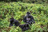 Berggorillas, Ruanda