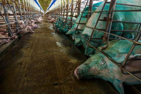 Schweine, Zuchtfarm Brasilien