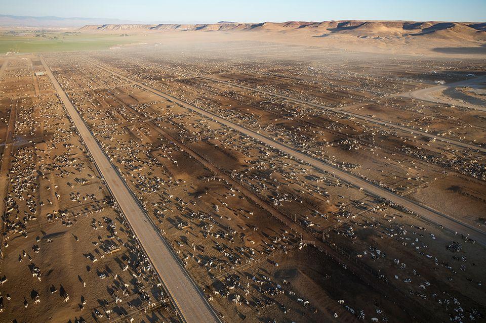 150 000 Rinder, Mastanlage USA