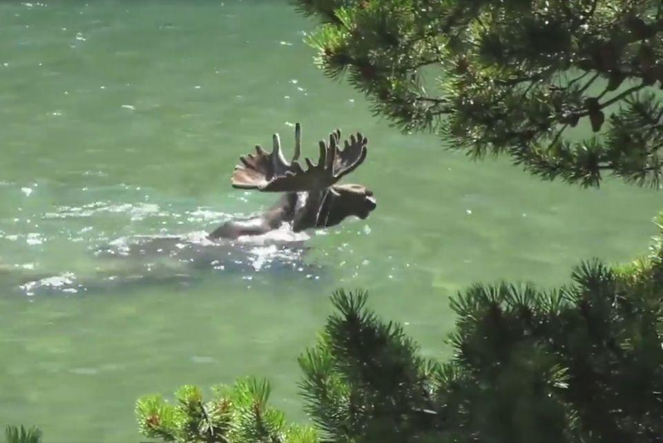 Schwimmender Elch