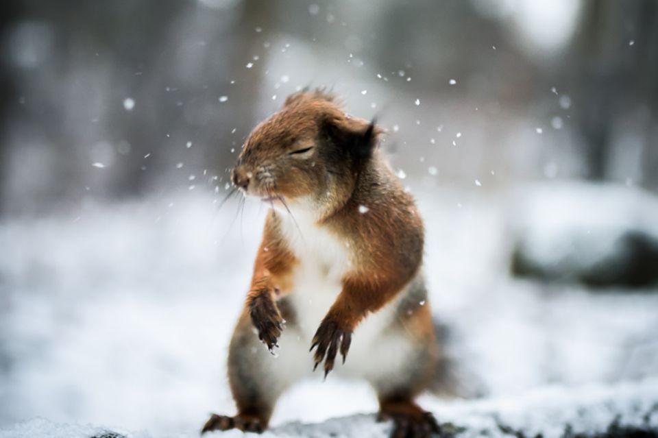 Eichhörnchen, Schnee. Finnland