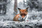 Fuchs, Finnland