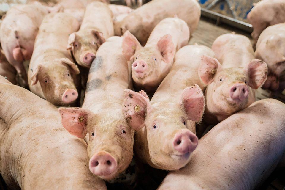 Schweine, Mastbetrieb
