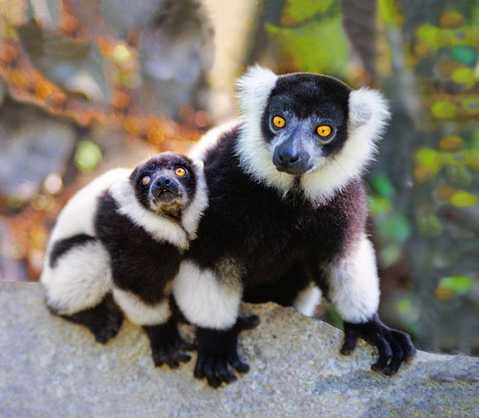 Vari Mutter mit Jungtier