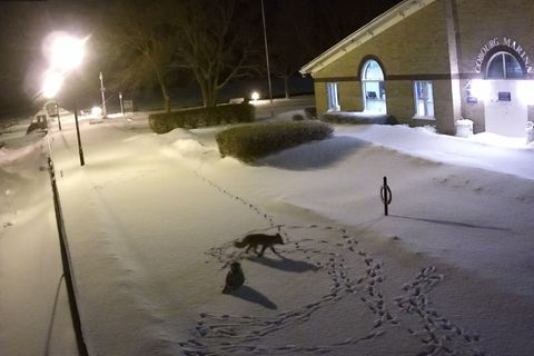 Fuchs und Schneeeule in Cobourg