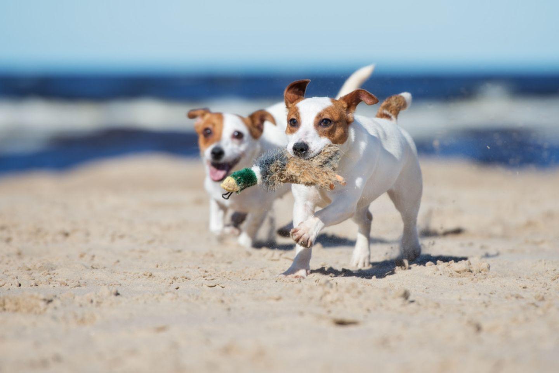 Zwei Hunde am Strand von Holland