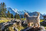 Hund in der Schweiz