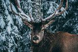 Hirsch mit Schnee im Geweih