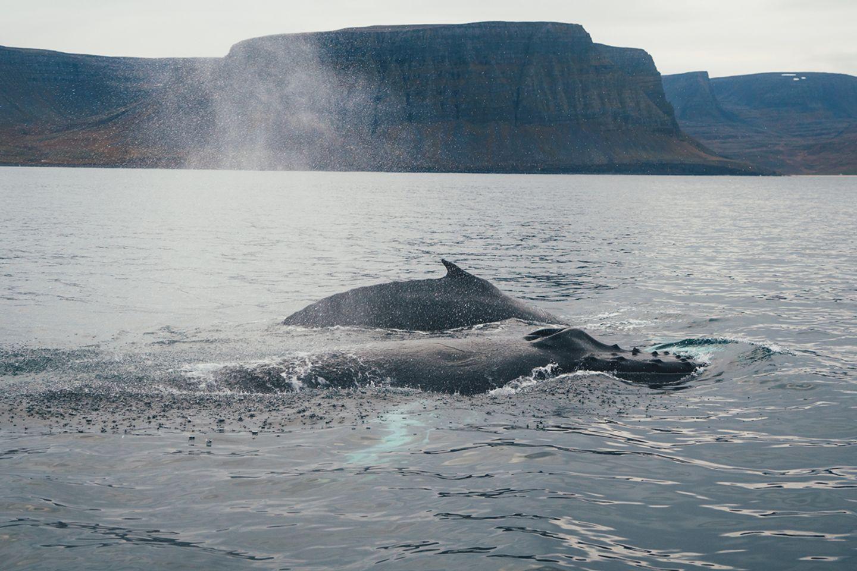 Wale in den Westfjorden Islands