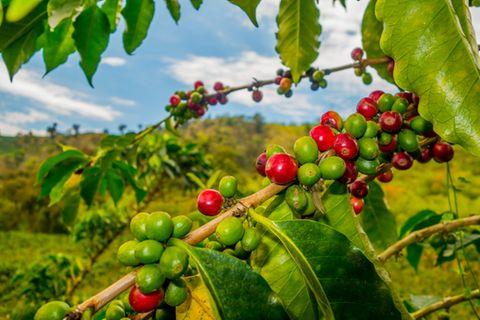 Kaffeeplantage, Kolumbien