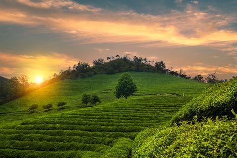 Boseong Green Tea Field, Südkorea