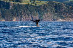 Wale beobachten, Azoren
