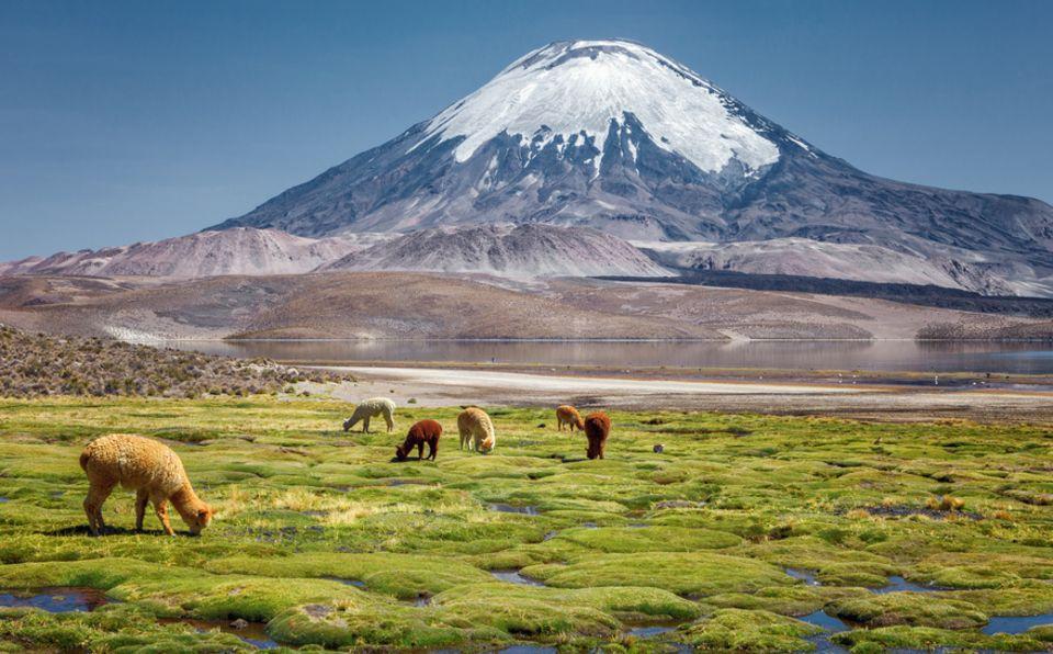 Alpakas in Chile