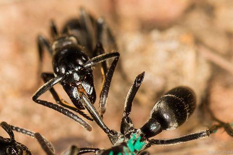 Ameisen helfen sich gegenseitig