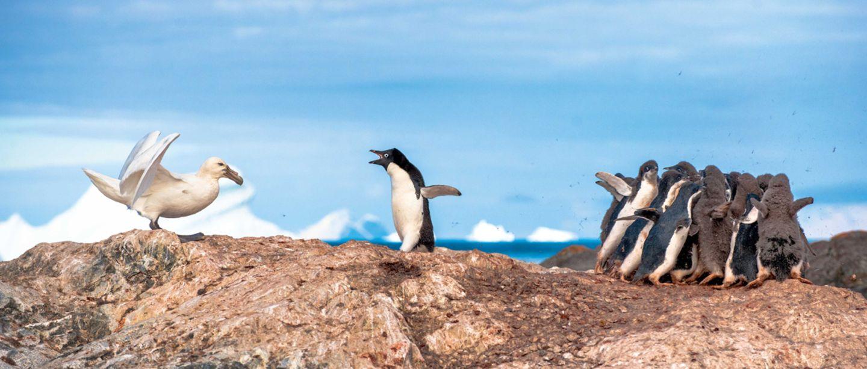 Pinguin verteidigt seine Artgenossen