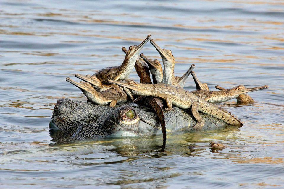 Krokodil-Taxi
