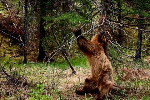 Braunbär entledigt sich seinem Winterfell