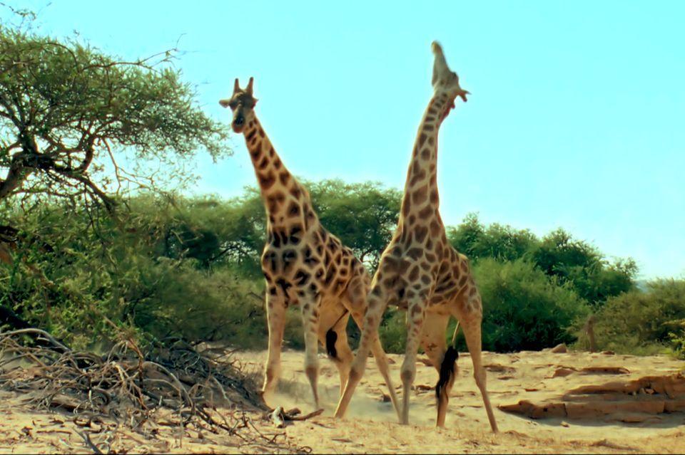 Giraffenkampf