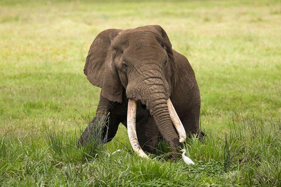 Elefant mit langen Stoßzähnen