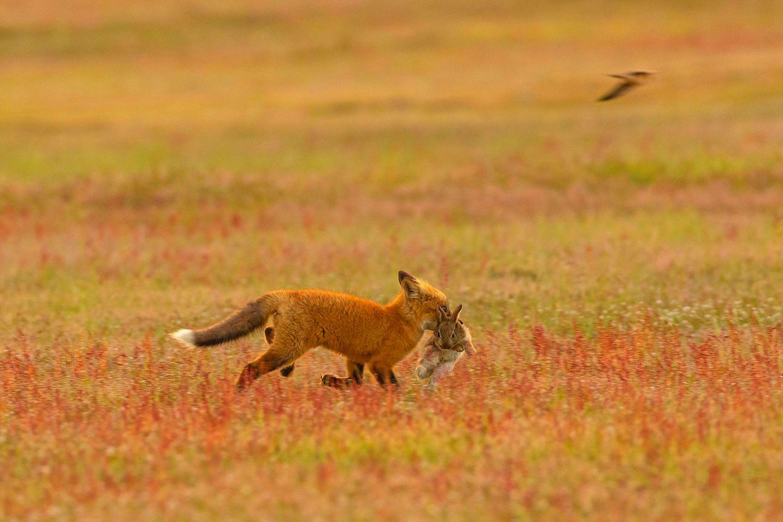 Junger Fuchs fängt Kaninchen