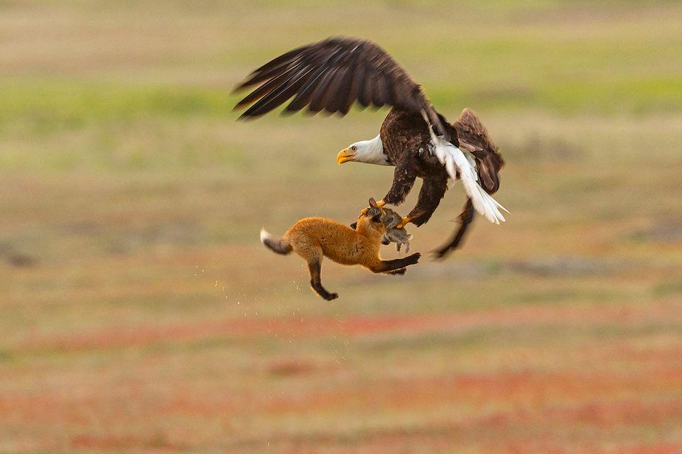 Adler und Fuchs kämpfen um Kaninchen