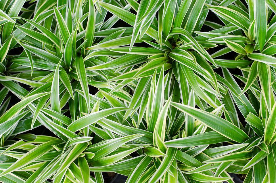 Pflanzenkunde für Anfänger: Schier unverwüstlich: die Grünlillie