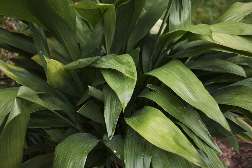 Pflanzenkunde für Anfänger: Kommt mit wenig Licht aus: die Schusterpalme