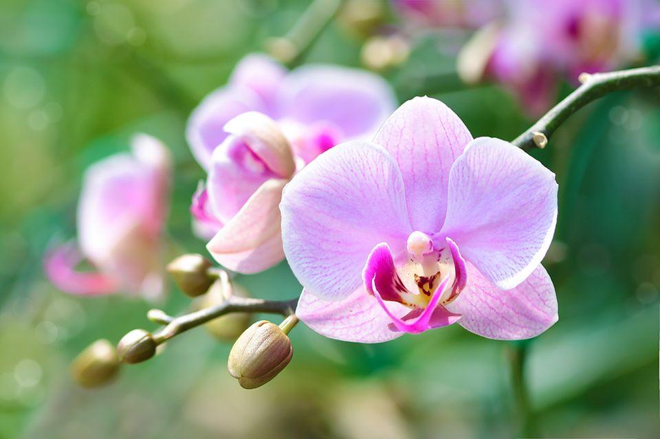 Pflanzenkunde für Anfänger: Einfach elegant: die Phalaenopsis