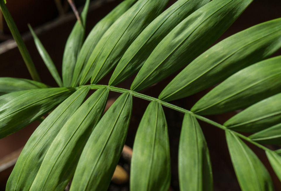 Pflanzenkunde für Anfänger: Sorgt für Exotik und reduziert Stress: die Kentiapalme