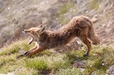 Ein Fuchs nähe Triffthütte Schweiz